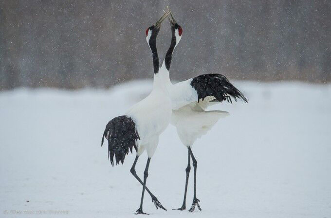 Red-crowned Cranes performing a magnificent mating dance