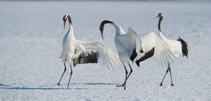 Three Red-crowned Cranes
