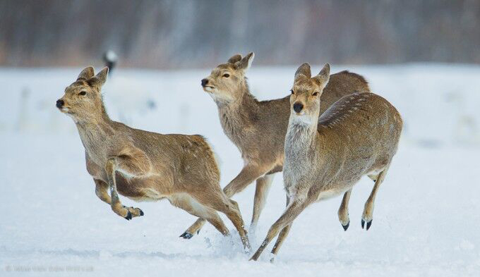 Japanese Deer in the snow